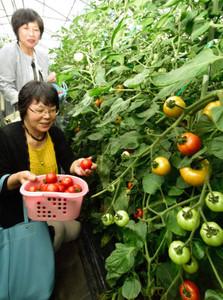 たわわに実ったフルーツトマト=下呂市御厩野の杤本農園で