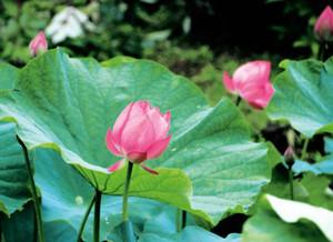 雨の中でピンクの花を膨らませた大賀ハス=玉城町田丸で