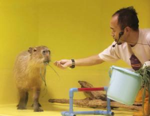 13日のショーで、飼育員がエサで誘導してもカピバラはハードルをまたがなかった=蒲郡市竹島水族館で