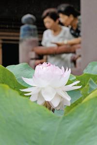 ピンク色の花を咲かせ見頃を迎えた「妙蓮」=金沢市神宮寺で