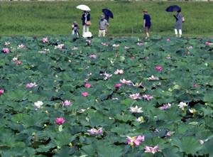 見頃となり、湖岸に淡いピンクの花を咲かせるハス=草津市下物町で