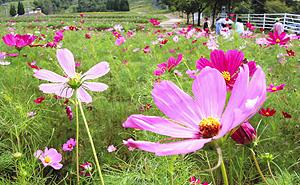 ゲレンデ一面に咲き誇るコスモス=高山市丹生川町の飛騨ほおのき平スキー場で
