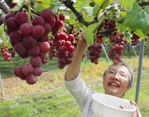 色つやよく、たわわに実ったブドウ=飯田市の農業法人「今田平」で