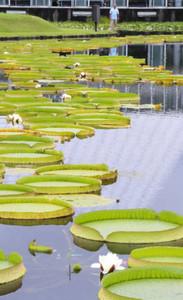 池の水面に咲き始めたパラグアイオニバスの白い花=県中央植物園で