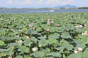 例年の開花シーズンを終えても咲き続けるハス=草津市の琵琶湖岸で