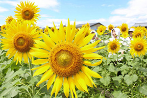 遊休地に大輪の花を咲かせたヒマワリ=長浜市加納町で