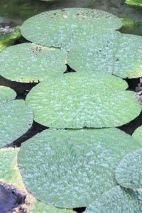 彦根市役所前の池で育っているオニバスの葉