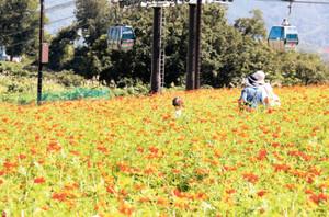 ゲレンデに咲き誇るキバナコスモス=南砺市才川七で