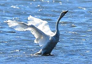 今季初飛来したコハクチョウ=長浜市湖北町で