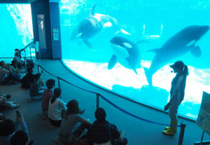 シャチを目の前で観察しながら飼育員の説明を楽しめる解説タイム=名古屋市港区の名港水族館で