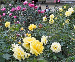 色とりどりの花を咲かせ、園内を彩るバラ=彦根市の庄堺公園で