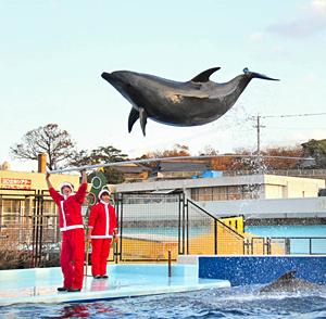 サンタクロース姿の飼育員の合図で華麗なジャンプを披露するイルカ=坂井市の越前松島水族館で