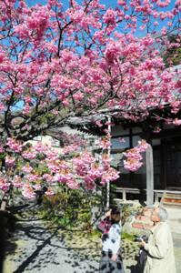 濃いピンク色に染まり、満開を迎えた万福寺の土肥桜=14日、伊豆市土肥で