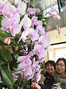 見ごろを迎えた、愛らしい花が魅力のミディコチョウラン=名古屋市中区大須の久屋大通庭園フラリエで