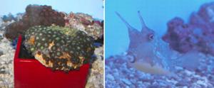 (左)豆のような小さな固体が集まって暮らすマメスナギンチャク(右)鬼のような角を持つコンゴウフグ=いずれも名古屋市港区の名港水族館で