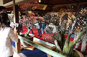 風情ある座敷に古木が並ぶ盆梅展会場=滋賀県長浜市で
