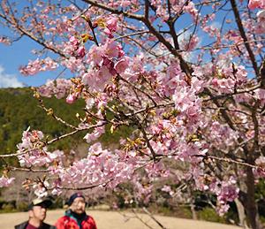青空を背景に咲き誇るごんべえ桜=紀北町海山区便ノ山で