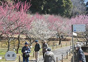 3色の花の競演を楽しめる梅園=豊川市市田町の赤塚山公園で