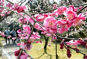 見頃となり、甘い香りを漂わせる梅=大津市の石山寺で