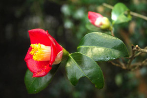 「椿ウィーク」の主役のツバキの花=珠洲市折戸町で