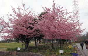 例年より早めに見頃を迎えた河津桜=名古屋市港区春田野の戸田川緑地で