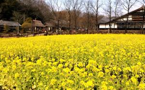 昭和の風景を鮮やかに彩る菜の花=美濃加茂市山之上町の日本昭和村で