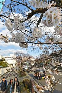 愛らしい花を次々と咲かせるソメイヨシノ=福井市宝永4のさくら通りで