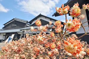 見頃を迎え、愛らしい花を咲かせるミツマタ=越前市の卯立の工芸館前で