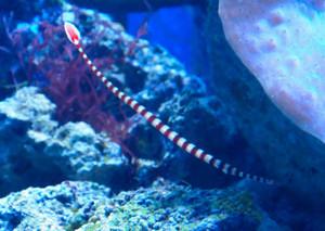 毎日午後4時半ごろに見やすい位置に現れる不思議な魚「オイランヨウジ」=名古屋市港区の名港水族館で