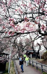 タカトオコヒガンザクラが咲き始めた高遠城址公園=伊那市で