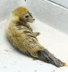 3日に生まれたゴマフアザラシの雌の赤ちゃん=美浜町の南知多ビーチランドで