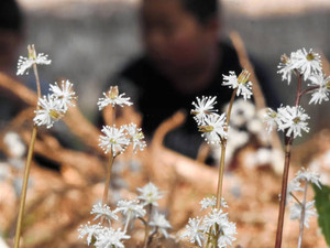 コンペイトーのような白い花を咲かせるセリバオウレン=高山市久々野町の熊野神社で