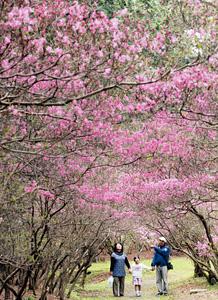 社殿裏手の丘にトンネルのように咲くコバノミツバツツジ=鈴鹿市稲生西の伊奈冨神社で