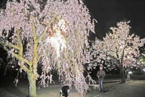 美しくライトアップされた県総合グリーンセンターの桜見本園=坂井市丸岡町楽間で