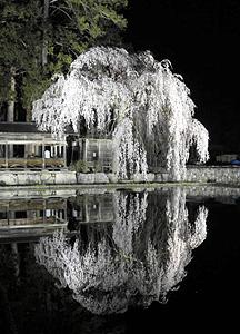 ライトアップされた神明神社のしだれ桜=高山市朝日町青屋で
