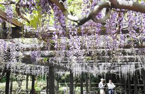 紫の花をつけた森津の藤公園のフジ=弥富市で