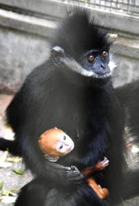 フランソワルトンの雌と赤ちゃん