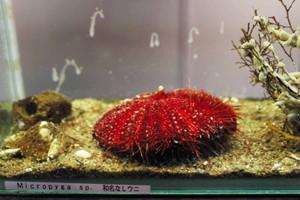 国内で生息が初確認されたミクロピガ属のウニ=鳥羽市の鳥羽水族館で