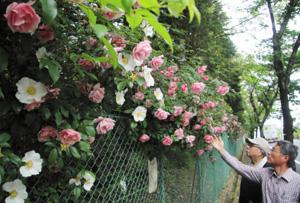 沿道を彩るピンクと白のつるバラ=可児市桜ケ丘で