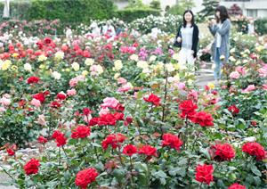 見頃を迎えたバラ園=西尾市斉藤町で