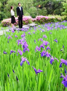 紫色の花を付け始めたカキツバタ=志賀町のいこいの村能登半島で