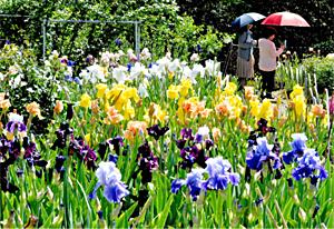 見頃を迎え、色とりどりの花が楽しめるアイリス園=豊丘村