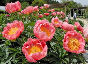 華やかに咲き誇り、観光客の目を楽しませるシャクヤク=日野町の日野ダリア園で