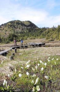 ミズバショウを眺めながら木道を歩くハイカー(後ろは裏志賀山)=志賀高原の四十八池湿原で