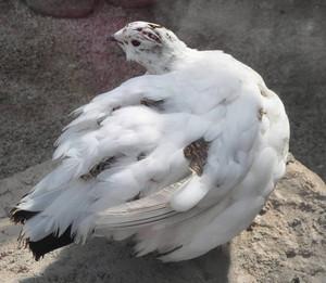白い羽根に茶色い夏羽根が混ざり始めたメス=飯田市立動物園で