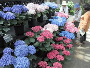 色とりどりの花を付けたアジサイ=安城市赤松町のデンパークで