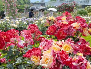 快晴の下、華やかに咲き誇るバラ=大津市の湖西浄化センターで