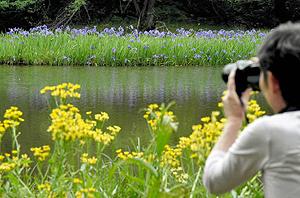しっとりと咲き、訪れる人の目を楽しませるカキツバタ(奥)=高島市今津町深清水で