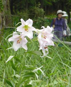 花が咲き始めたササユリ=亀山市楠平尾町で