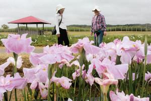 美しい花を咲かせたハナショウブ=小松市の木場潟公園で